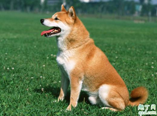 三个月柴犬感冒怎么办 柴犬为什么老是打喷嚏流鼻涕4