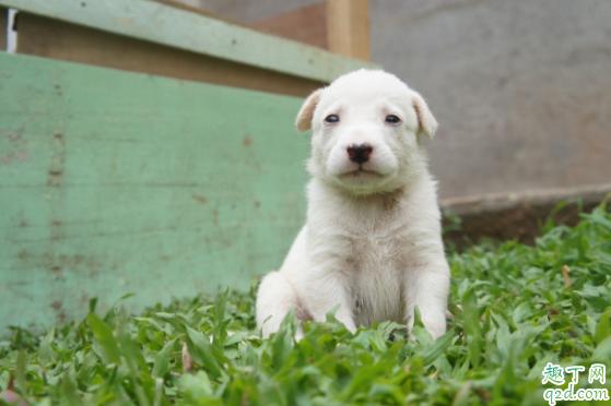 怎么检测小狗有没有细小 小狗得了细小能治好吗1