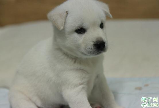 怎么检测小狗有没有细小 小狗得了细小能治好吗2