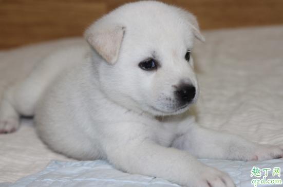 怎么检测小狗有没有细小 小狗得了细小能治好吗3