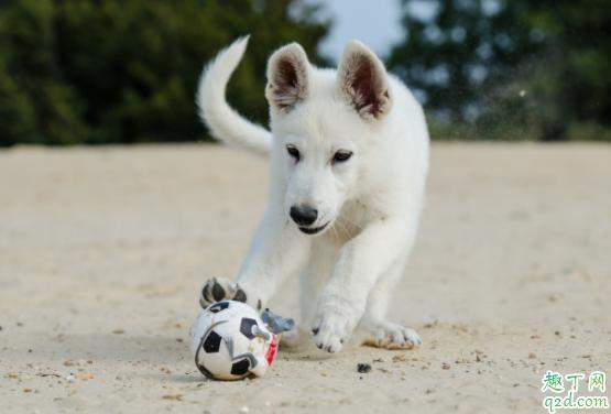 怎么检测小狗有没有细小 小狗得了细小能治好吗4