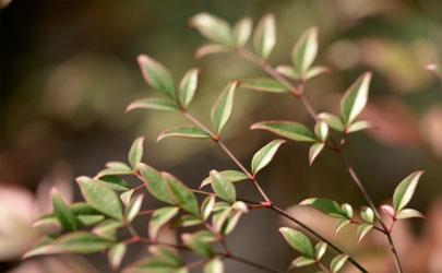 南天竹盆栽新叶发黄是怎么回事 南天竹盆栽新叶发黄怎么补救