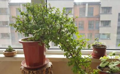 玉树长白色虫子怎么治 玉树有毒吗可以室内养吗